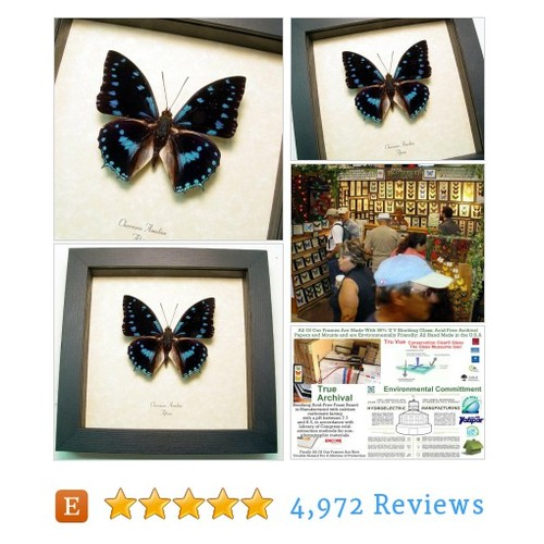 Real Framed Blue-Spotted Charaxes Ameliae #etsy @real_butterfly https://www.SharePicVideo.com/?ref=PostPicVideoToTwitter-real_butterfly #etsy #PromoteEtsy #PictureVideo @SharePicVideo