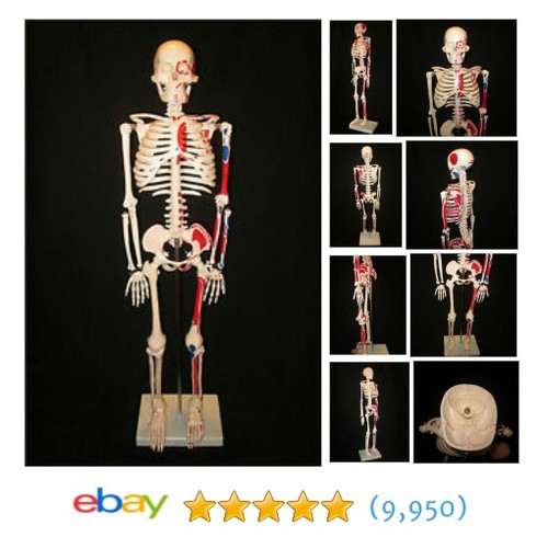 QUALITY MUSCLE HUMAN SKELETON ANATOMICAL MODEL  #applam #ebay @milcal_anatmcl #sellonebay  #etsy #PromoteEbay #PictureVideo @SharePicVideo