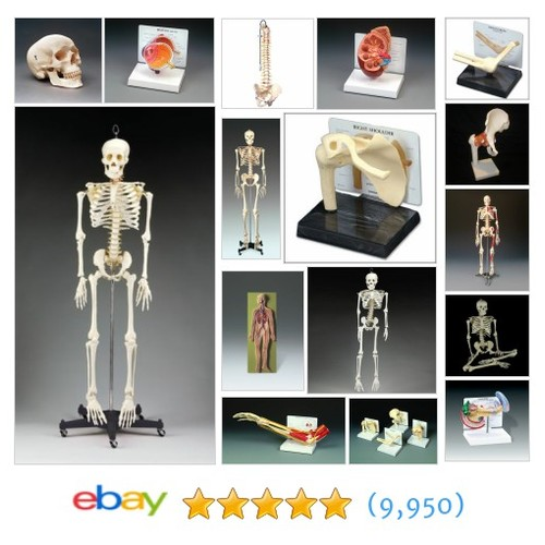 Anatomical Models Great deals from APPLAM | #ebay Stores #ebay @milcal_anatmcl #sellonebay  #ebay #PromoteEbay #PictureVideo @SharePicVideo
