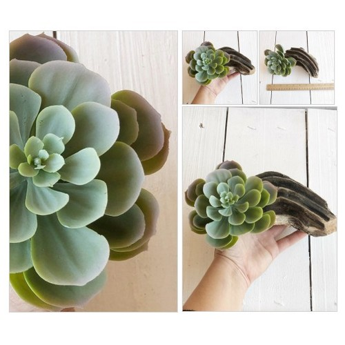 Succulent Garden In Driftwood Planter Drift wood succulent arrangement wedding centerpiece floral plant  Planter Rustic  Home Decor #etsyspecialt #integritytt #SpecialTGIF #Specialtoo  #SpecialTParty       @Flow_Rts @ArmoryRTs @Relay_RTs #etsy #PromoteEtsy #PictureVideo @SharePicVideo